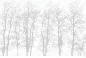 Aspen Trees in Snowstorm