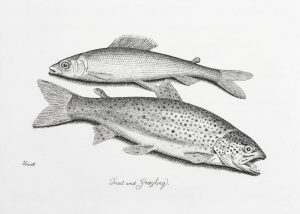 """Trout and Grayling"", from Howitt"