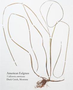 American Eelgrass