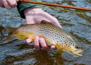 Brown Trout-50.jpg